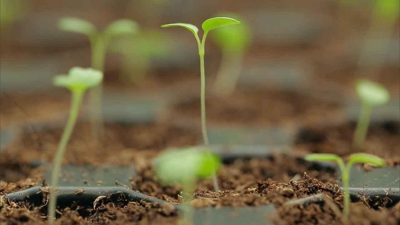 Хитрости выращивания рассады