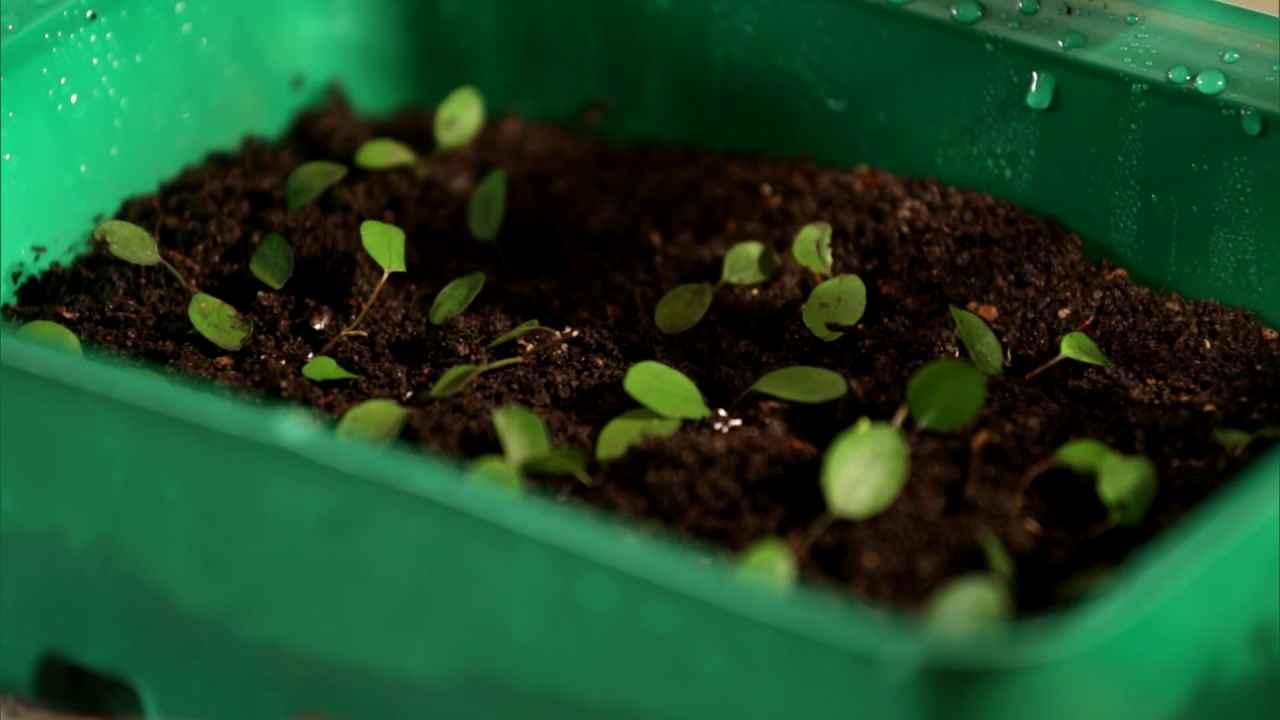 Проращиваем садовую землянику из семян