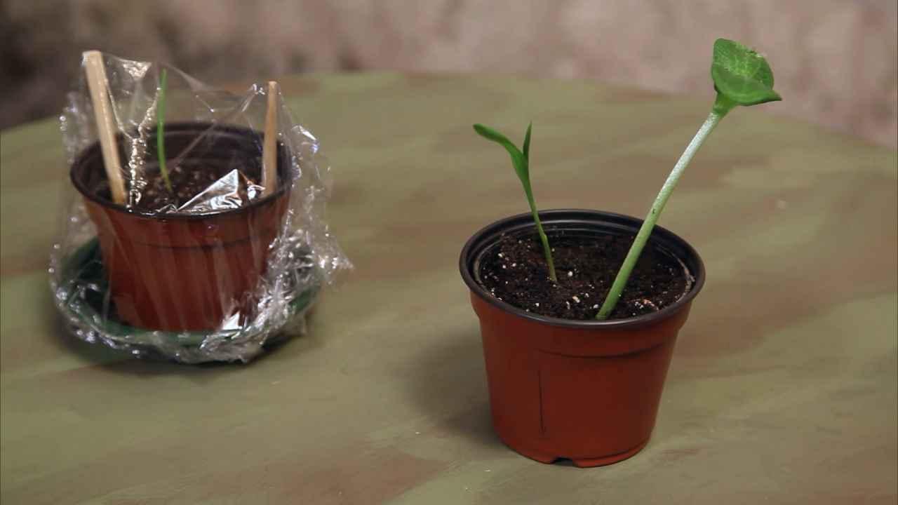 Сажаем кукурузу и тыкву в один горшок