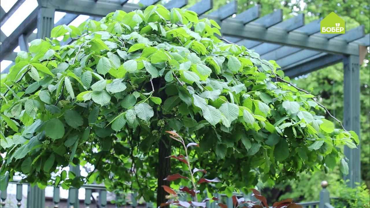 Как правильно стричь растения с плакучей кроной