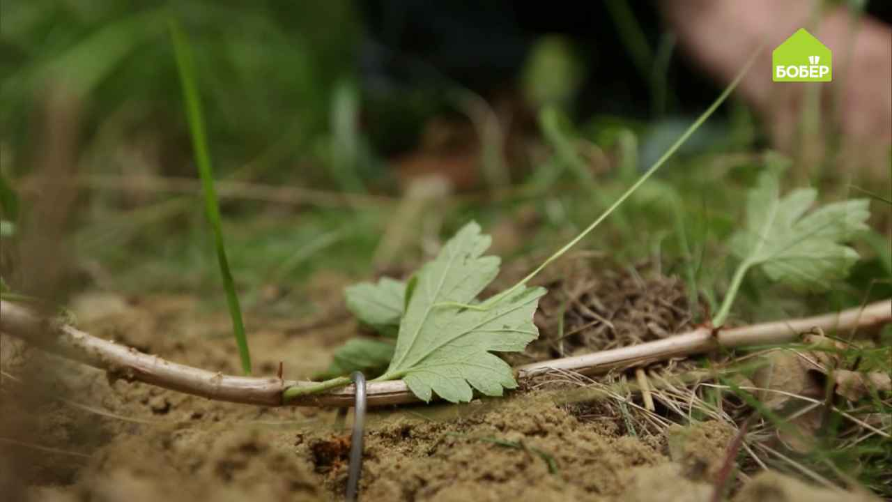 Размножаем крыжовник от куста