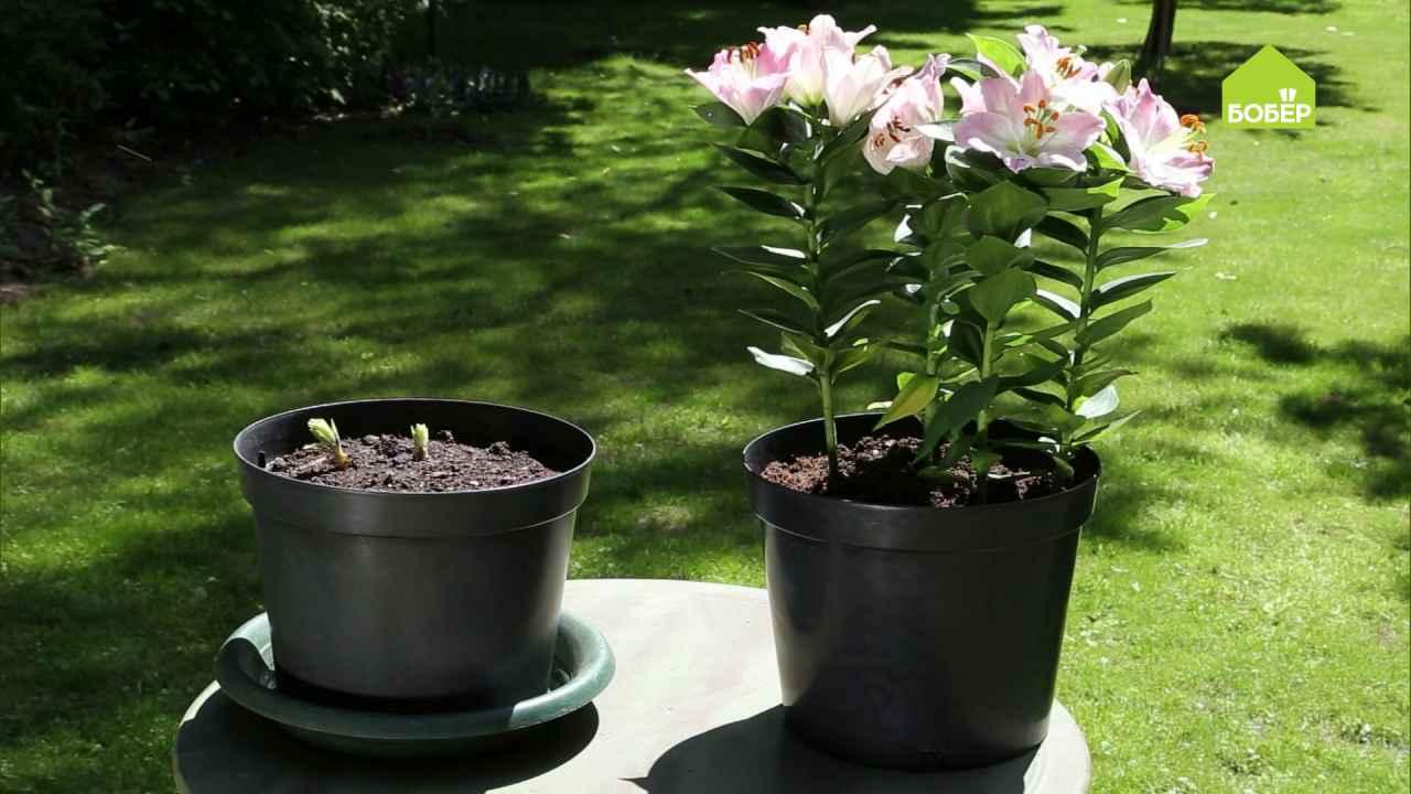 Выращиваем садовые лилии в горшках