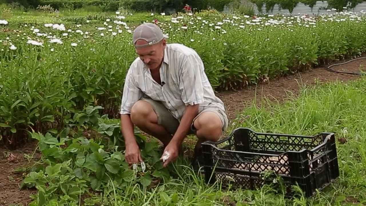 Два способа поднять кусты садовой земляники