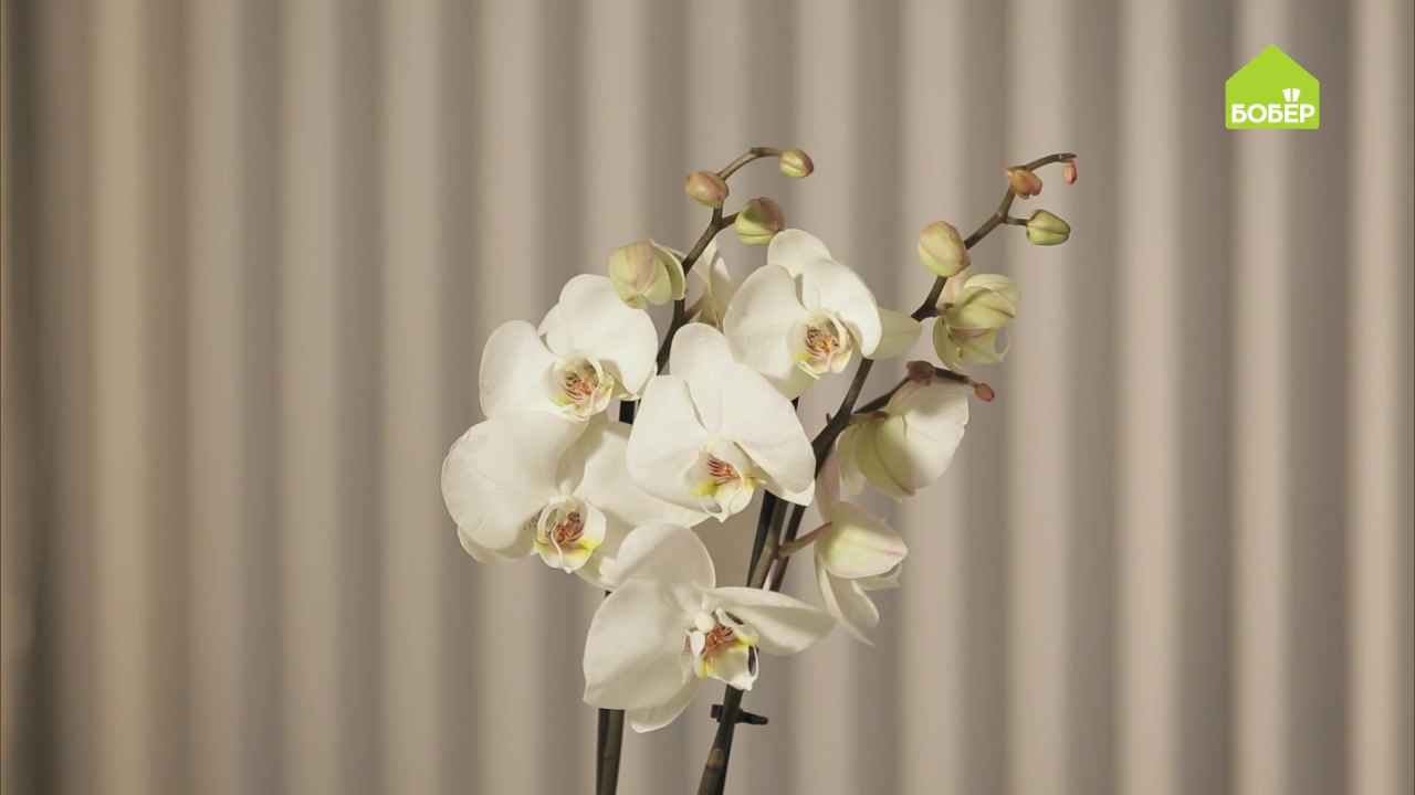 Орхидея: как правильно выбрать, ухаживать и пересадить