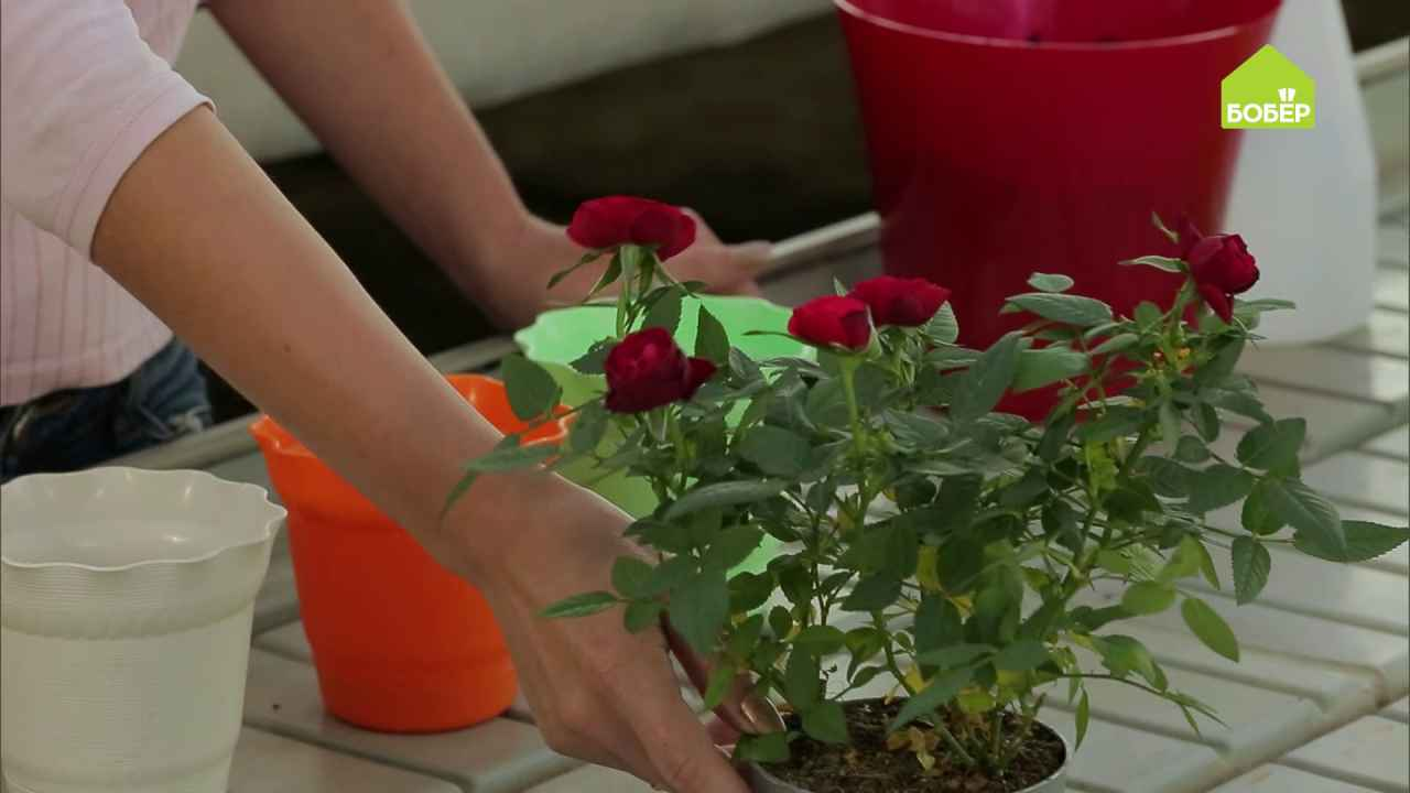 Как правильно пересадить купленный в магазине цветок