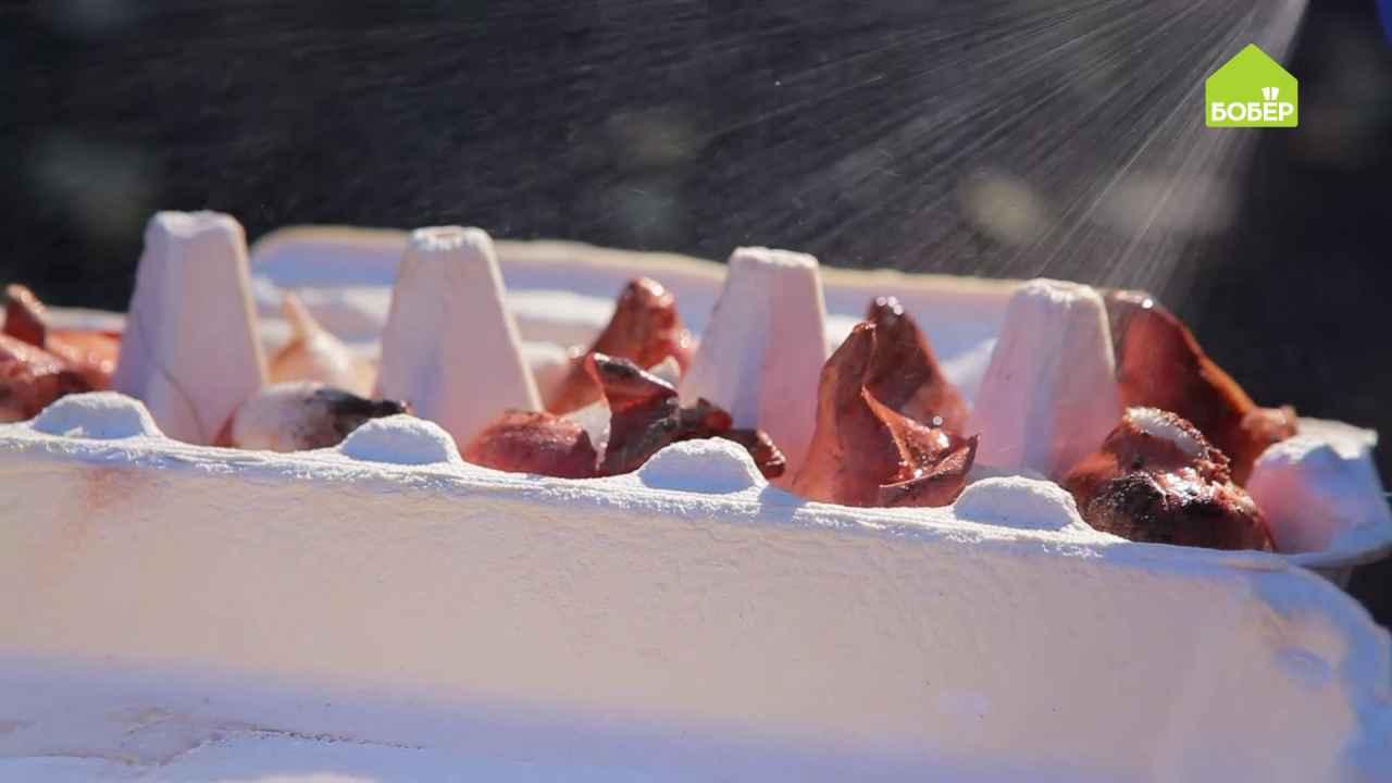 Сажаем тюльпаны поздней осенью