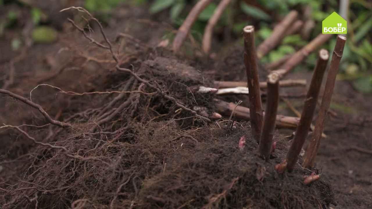 Деление декоративных растений осенью (на примере арункуса)