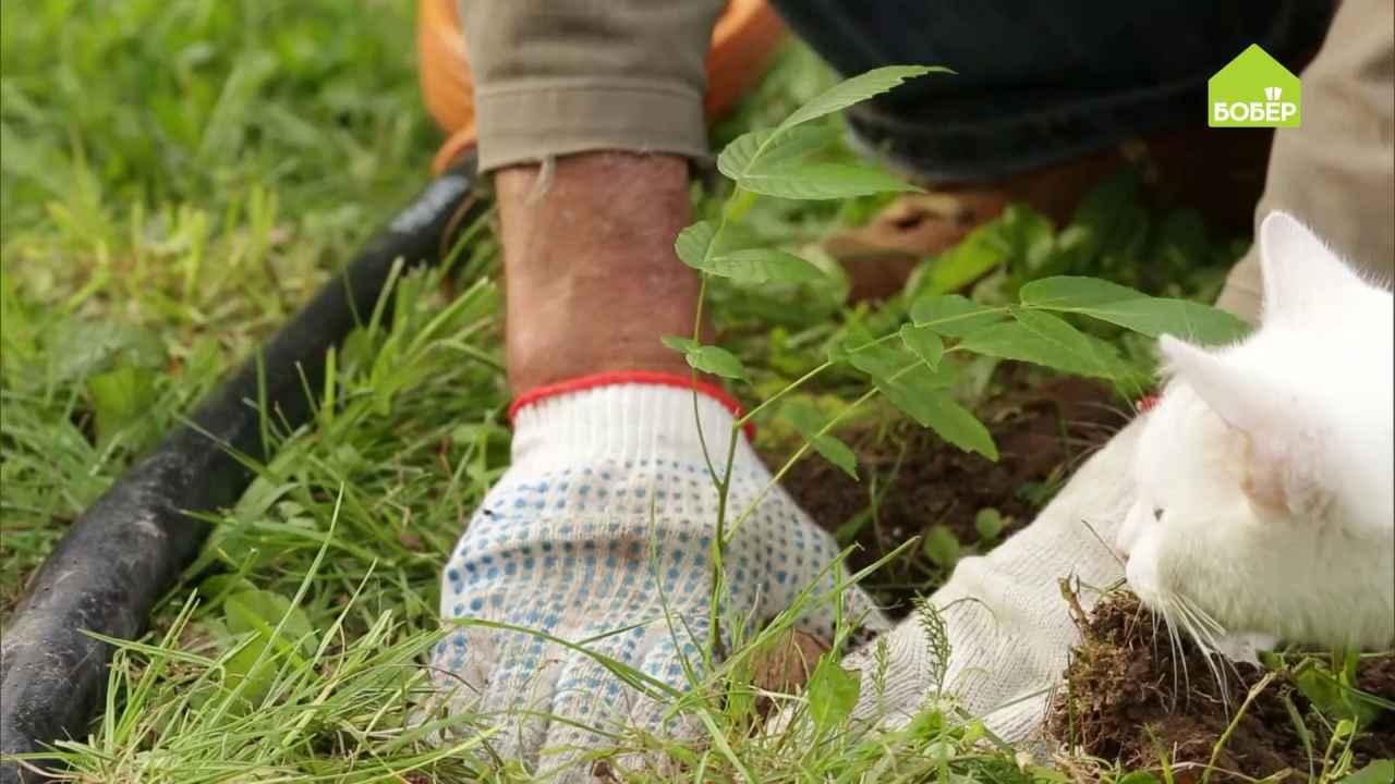 Как правильно прорастить и посадить грецкий орех