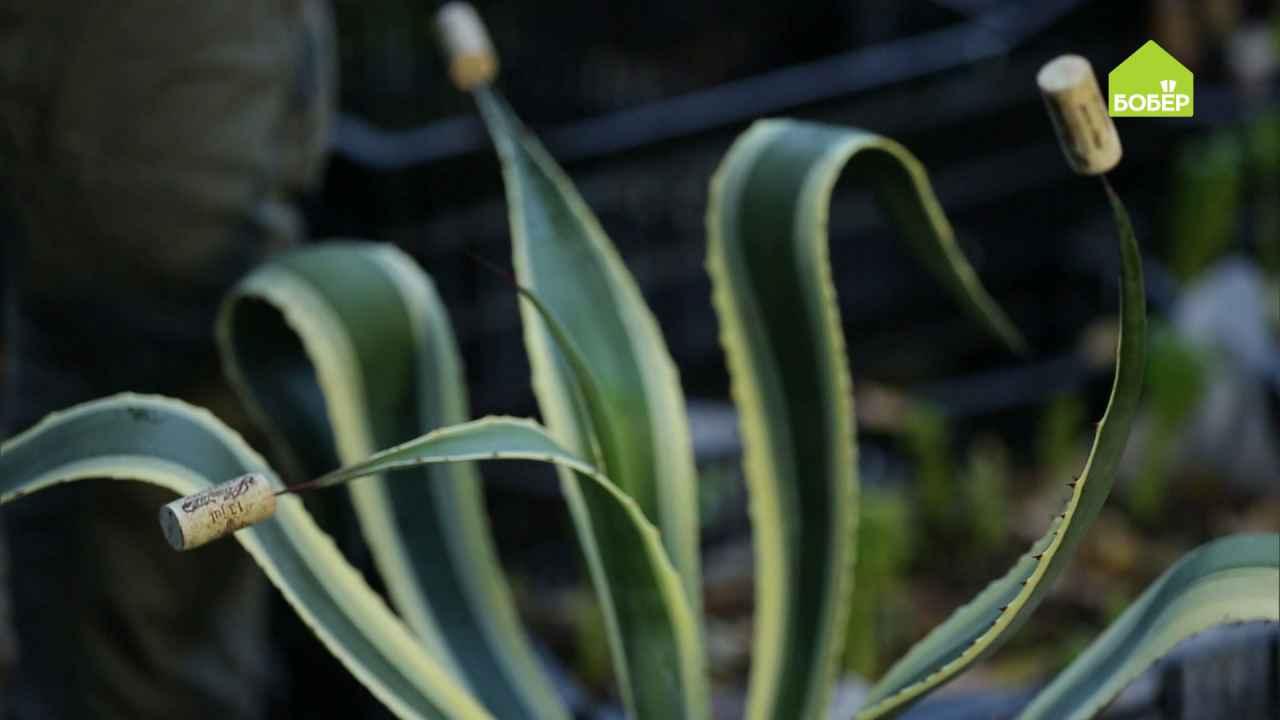 Убираем агаву из сада на зимовку