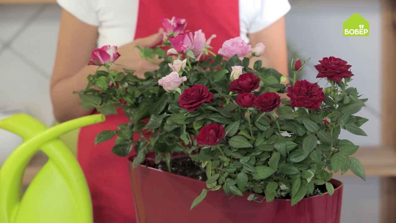 Кустовая роза: как правильно ухаживать и пересадить