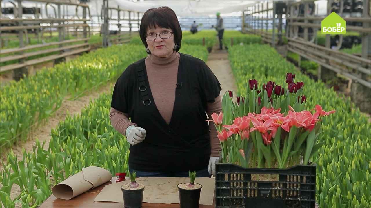 Выгонка гиацинтов: как получить длинный цветонос и красивое соцветие