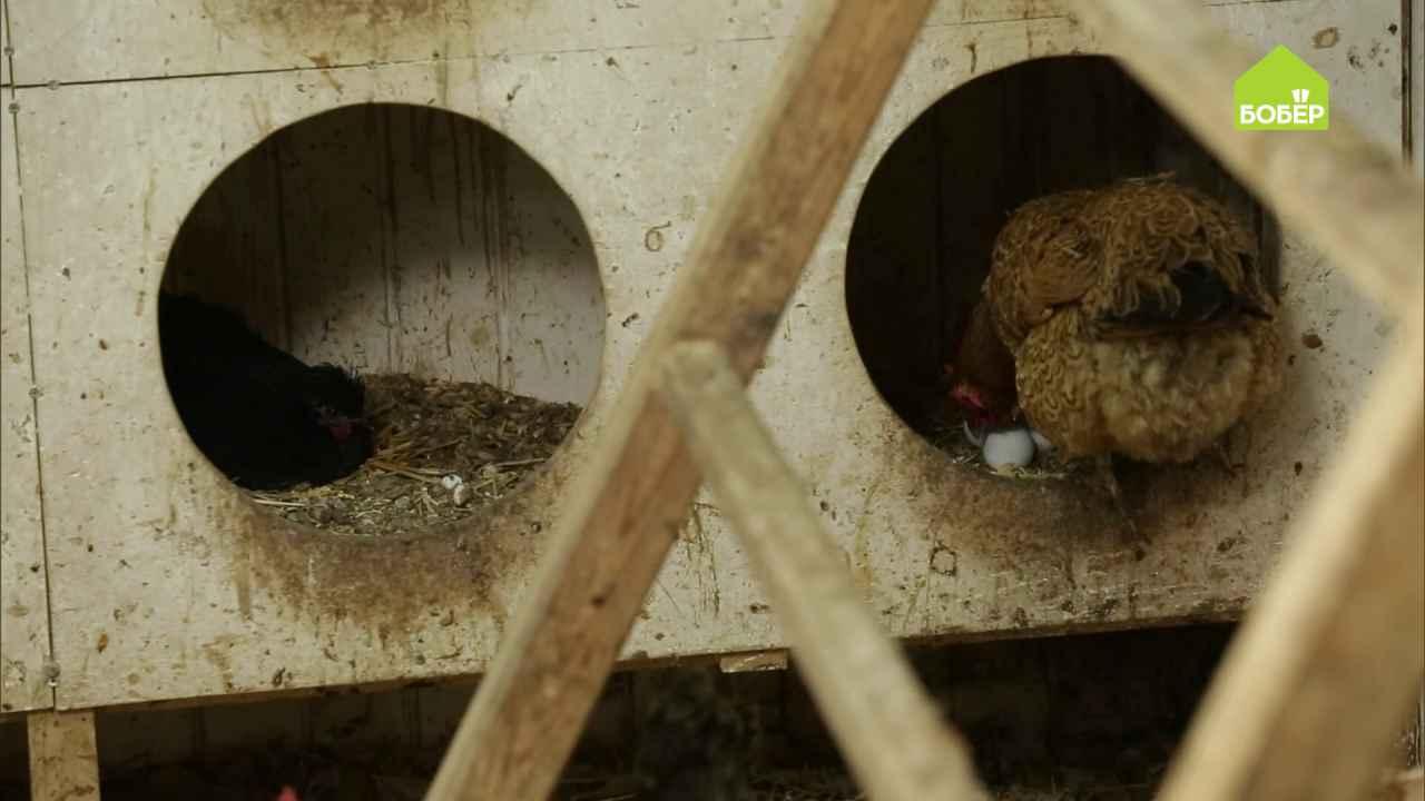 Как приучить курицу нести яйца в отведённом месте
