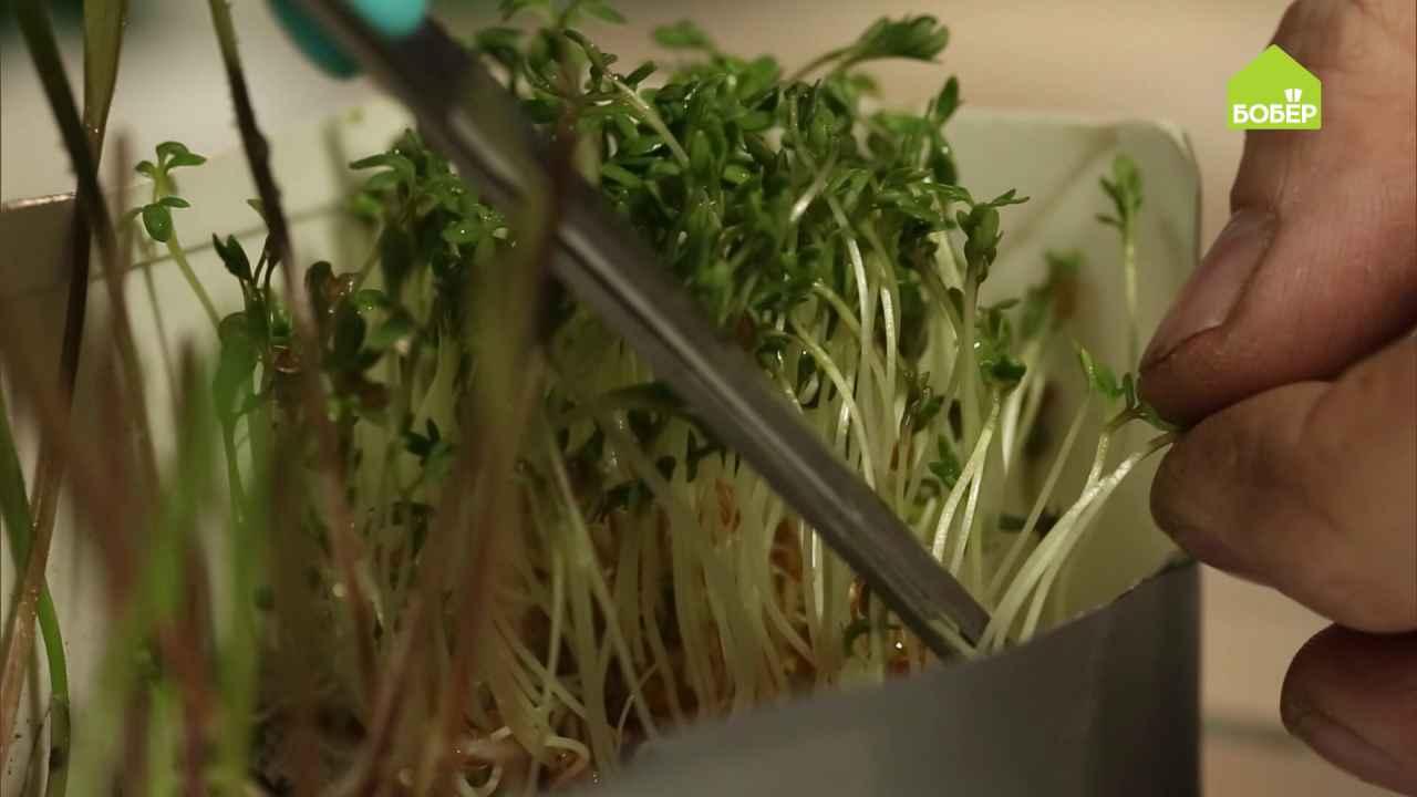 Выращиваем микрозелень в домашних условиях