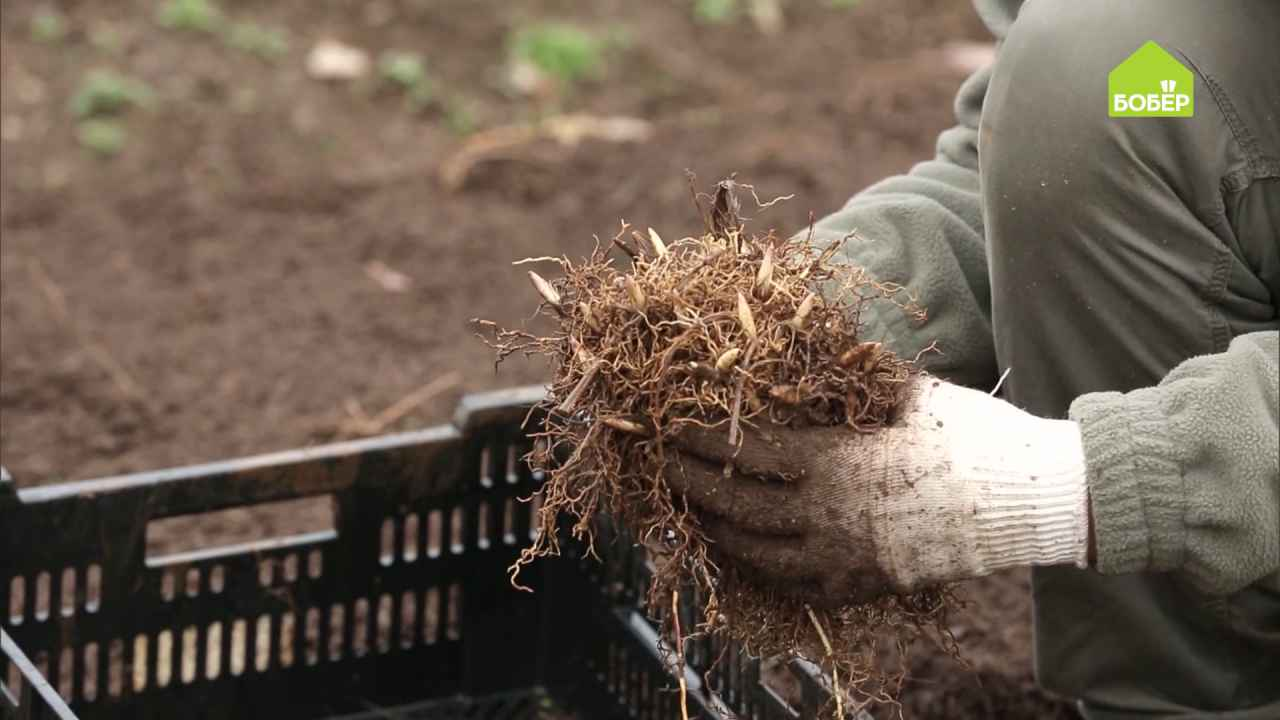Как пересадить и выгнать садовые ландыши