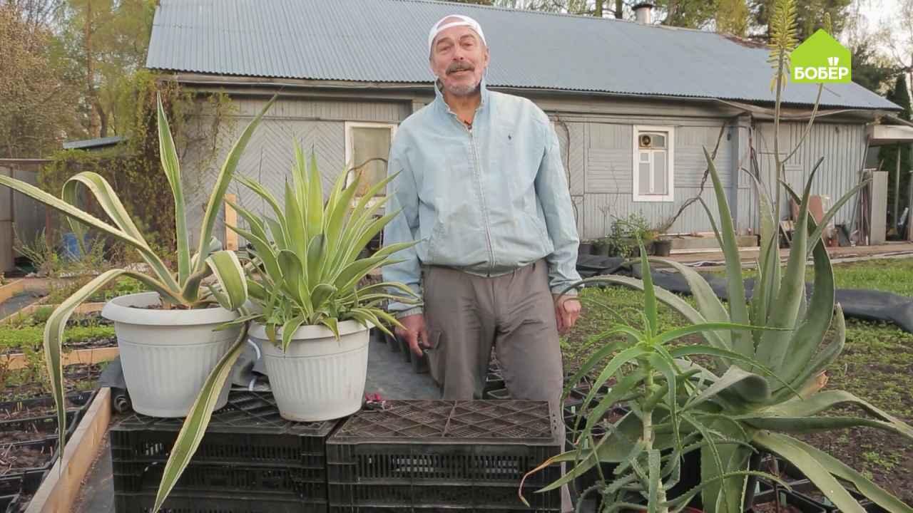 Алоэ и агава в вашем саду