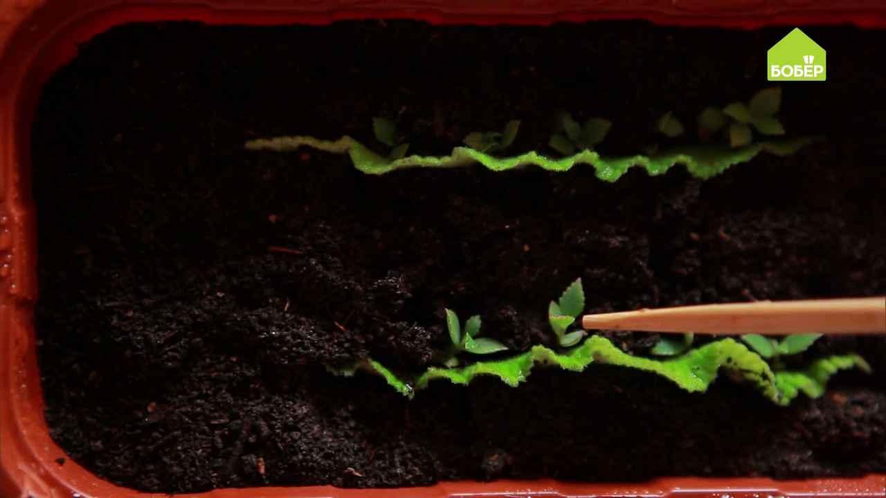 Как размножать бесстебельные растения