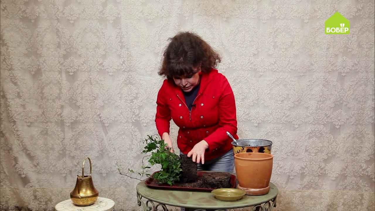 Пересадка комнатных растений на примере плюща