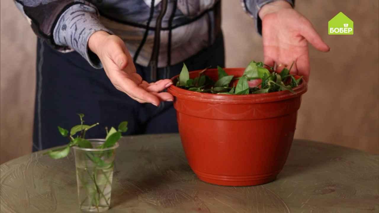 Пересаживаем ампельные растения на примере традесканции