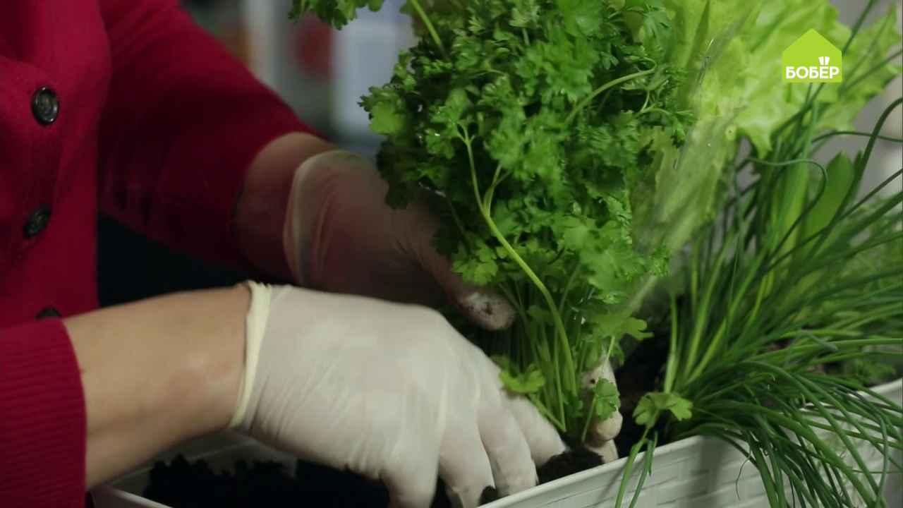Как хранить зелень в горшочке после покупки