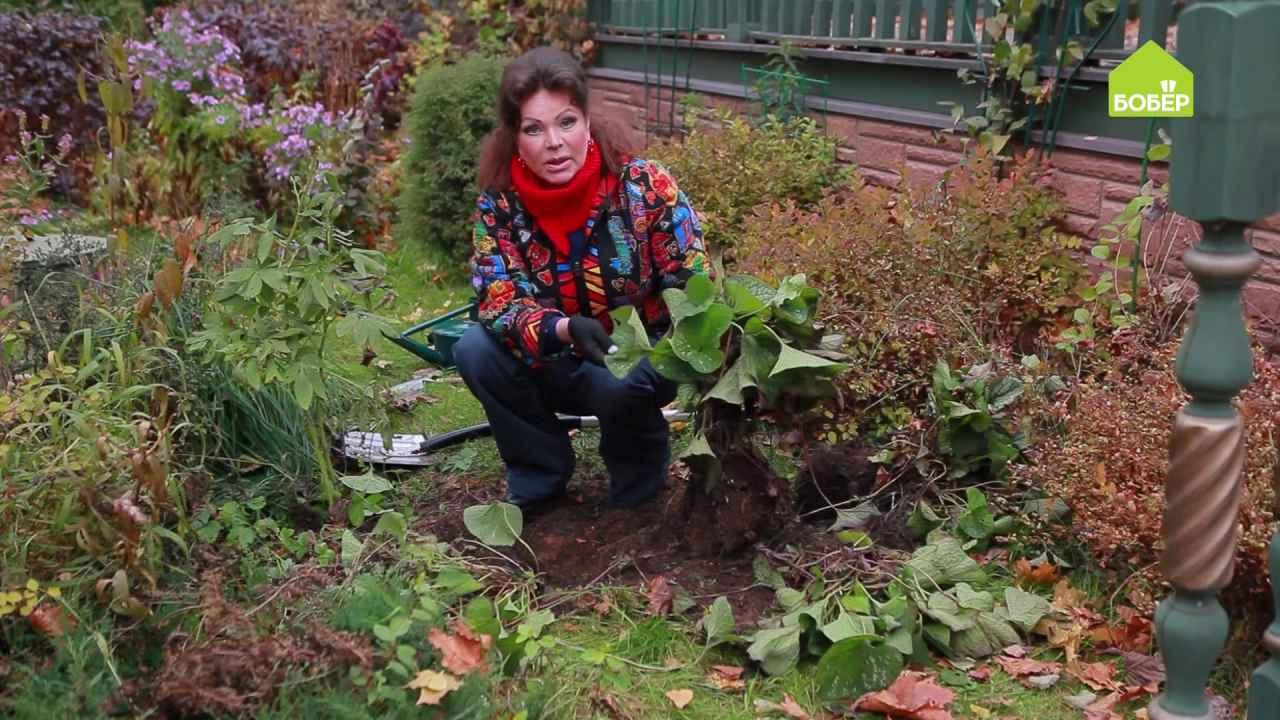 Деление многолетников осенью (на примере брунеры)