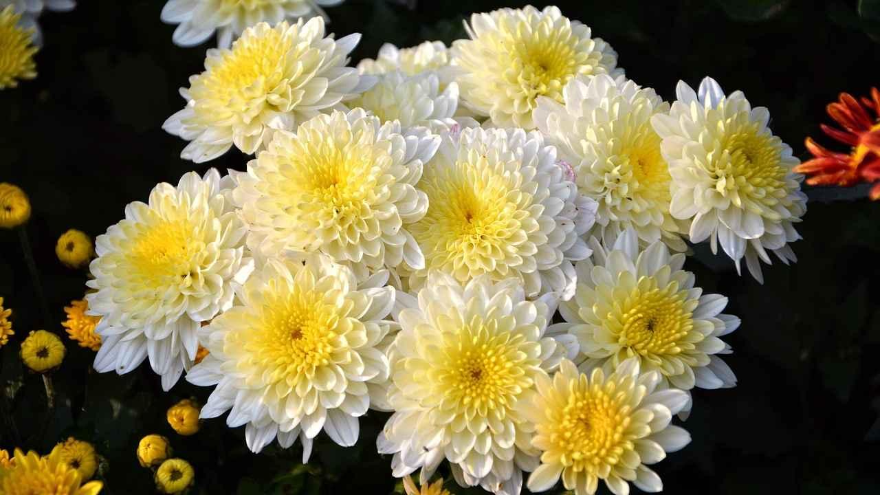 Открытка хризантемами