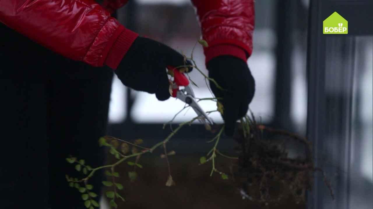 Храним розу с открытой корневой системой